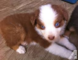 australian shepherd in california australian shepherd puppy red tri male for sale in cotati