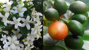 murraya paniculata large orange jasmine this most plant for anti inflammatory u0026 antinociceptive orange