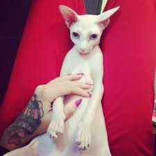 www hairsnips com old hair snips 20 hairless mammals