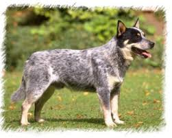 australian shepherd with tail for sale australian cattle dog puppies breeders cattle dogs
