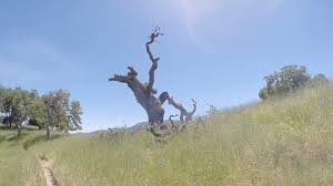 what does the dead tree on dinosaur loop look like south bay