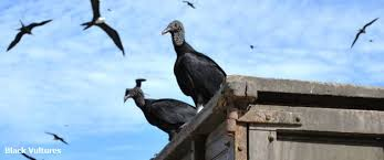 Seeking Vulture The Place Of The Vultures Cuba On The Cusp Of Change Kitlv