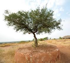 thar desert flora and fauna in the thar desert sahapedia