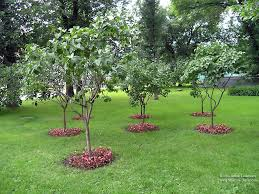 remarkable privacy trees for small backyards pictures inspiration