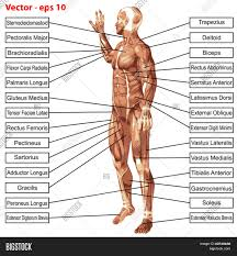 Male External Anatomy Human Anatomy Man Images Learn Human Anatomy Image
