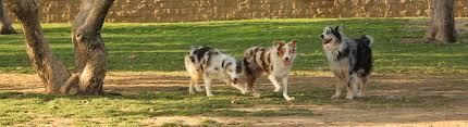 australian shepherd breeders los angeles aussie rescue socal u2013 australian shepherd rescue