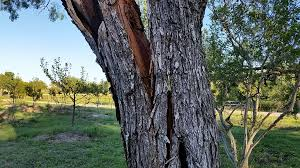 split mesquite tree daddykirbs farm