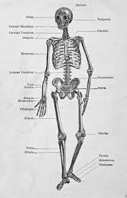 Which Cell Helps In Movement Of Bones Best 20 Human Bone Structure Ideas On Pinterest Structure Of