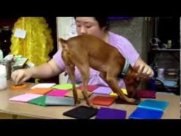 Are All Dogs Colour Blind Dogs Are Not Colorblind Colors According To Rhinestones Youtube
