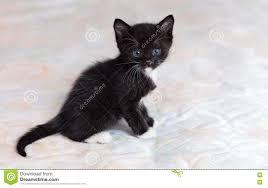 Kitten Bed Black Kitten On Bed Stock Photo Image 73532907