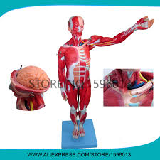 Human Anatomy Full Body Picture Online Buy Wholesale Model Full Body From China Model Full Body