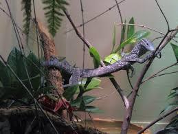 Biawak pohon tutul biru Wikiwand