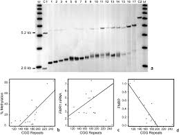 cgg allele size somatic mosaicism and methylation in fmr1