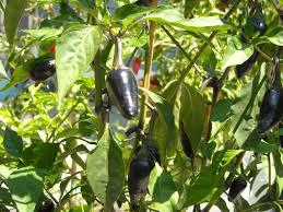 growing jalapenos 101 pepper basics grow hot peppers