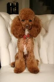 Gingerdoodle by 2932 Best Penchant For Poodles Images On Pinterest Standard