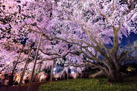 cherry blossom tree facts 17 facts you probably didn t know about sakura tsunagu japan