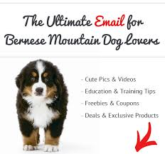 belgian sheepdog pros and cons pros and cons of bernese mountain dogs see what real bernese