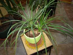 ponytail palm plant care houseplant care tips