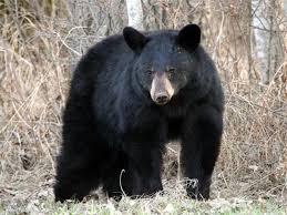 online jigsaw puzzle black bear