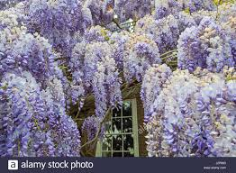 blue flowering chinese wisteria sinensis stock photos u0026 blue