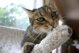 why your cat needs to climb cat development