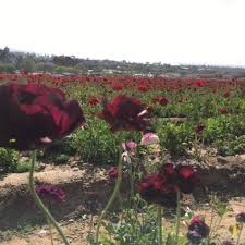 Flower Area - the flower fields temp closed 3182 photos u0026 655 reviews
