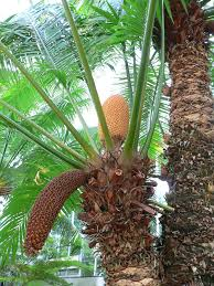 Tropical Plants Pictures - cycad wikipedia