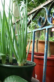 9 best veggie patch images on pinterest gardening plants and