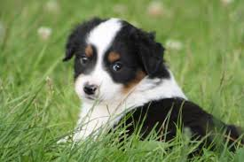 h cross australian shepherds australian shepherd dog puppy dog gallery