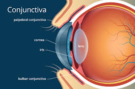 what does the conjunctiva do schmidt s optical
