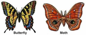 what is the difference between a butterfly and a moth