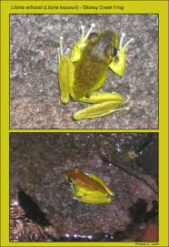 magnetic island frog species list