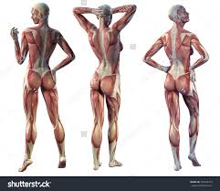 Full Body Muscle Anatomy Anatomical Body Muscles Women Anatomy Woman Full Body Royalty Free