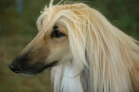 afghan hound agility 5 fun facts about the afghan hound american kennel club