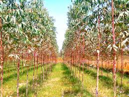 teak plantation plant suppliers