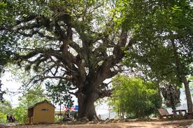 file dipterocarpus alatus is the most beautiful tree on the world