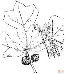 White Oak Tree Drawing Blackjack Oak Branchlet Coloring Page Free Printable Coloring Pages