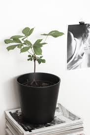 bringing nature indoors a tiny chestnut tree http www