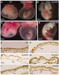 compensatory signalling induced in the yolk sac vasculature by