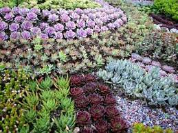 succulent landscaping designing a succulent garden ground