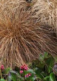 buy stipa tenuissima pony tails ornamental grass to plant from