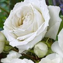 white roses for sale white symphony standard bare root roses for sale