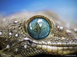 alligator eyes wallpaper 1600x1200 resolution wallpaper download