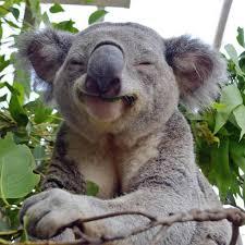 Meme Generator Koala - smug koala blank template imgflip
