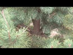 different types of christmas trees youtube