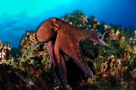 beautiful octopus pictures masters of disguise and agile hunters