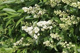 Fertilizer For Flowering Shrubs - ligustrum plants in the landscape u2013 tips for planting ligustrum shrubs