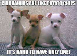 Chihuahua Meme - funny chihuahua meme can t have too many dogs funny pups
