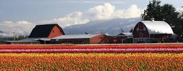 Skagit Valley Tulip Festival Bloom Map Tulip Festival