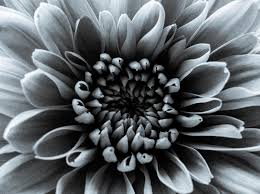 silver flowers grey flower photograph by oconnor